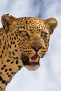 Free Close-up Of Leopard Stock Photo - 8095070