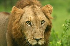 Free Lion Stare Royalty Free Stock Image - 8090176