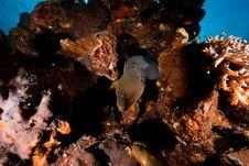 Free Giant Moray Stock Photos - 8090323