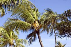 Free Tropical Palm Tree In Indonesia Stock Images - 8091524