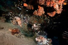 Free Lionfish Royalty Free Stock Photo - 8091595