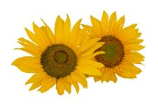 Free Sunflower Royalty Free Stock Photography - 8091747