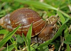 Free Garden Snail Stock Images - 8091814