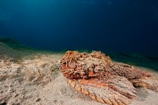 Free Stonefish Stock Photos - 8092093