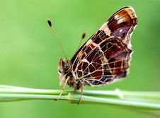 Unwonted Butterfly Tribe Araschnia Levana Stock Photo
