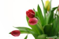 Free Tulips Royalty Free Stock Photos - 8093058