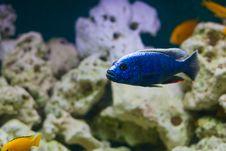 Free Blue Fish Royalty Free Stock Image - 8094866