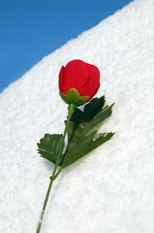 Free Red Rose On Snow Stock Photos - 8096413