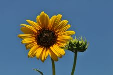 Free Sunflower Close Up Royalty Free Stock Photo - 8097895