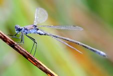 Free Small Dark Blue Dragonfly Stock Photo - 8098470