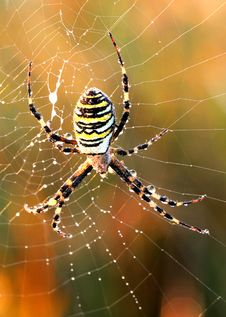 Spider With Yellow And Black Strips Stock Photo