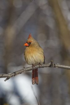 Free Northern Cardinal Female Stock Image - 8099971