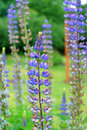 Free Lupines Royalty Free Stock Images - 812799