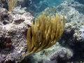 Free Sea Fan, Caribbean, Puerto Rico Royalty Free Stock Photo - 812995