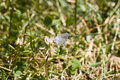 Free Eastern Tailed-Blue Royalty Free Stock Photos - 815898