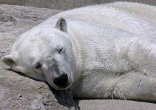 Free Polar Bear Royalty Free Stock Images - 810269
