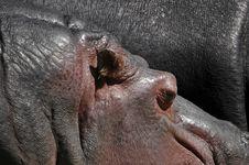 Free Hippos Royalty Free Stock Photo - 810275