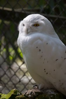 Free Snowy Owl I Royalty Free Stock Photography - 811477
