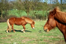Free Danish Horses Royalty Free Stock Image - 812126