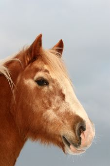 Free Danish Horses Royalty Free Stock Photography - 812187