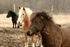 Free Danish Horses Stock Photo - 812190