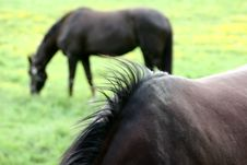 Free Danish Horses Royalty Free Stock Photography - 812227