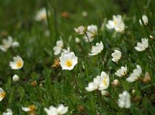 Free Small White Flowers Royalty Free Stock Photo - 812235