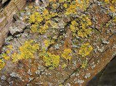 Free Various Lichen Royalty Free Stock Image - 812416