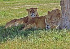 Free Sleeping Lions Stock Photo - 812550
