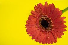 Free Orange Gerbera On Yellow Royalty Free Stock Photography - 813057