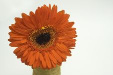Orange Gerbera Stock Image