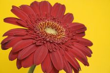 Free Red Gerbera Royalty Free Stock Image - 813066