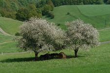 Free Spring Trees Royalty Free Stock Image - 814506