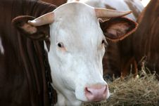 Cow In Close UP Royalty Free Stock Photography