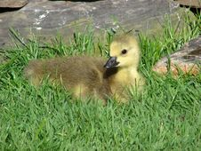 Free Baby Goose Royalty Free Stock Image - 815486