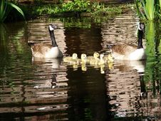 Family Of Geese Swimming Royalty Free Stock Photos