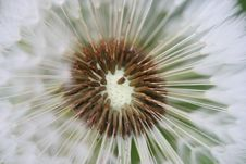 Free Dandelion Royalty Free Stock Images - 816699