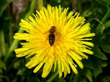 Free Dandelion Royalty Free Stock Photography - 817407
