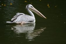 Free Pelican Royalty Free Stock Photography - 818337