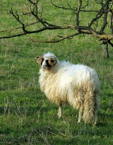 Free Looking For A Sheep Stock Image - 818351