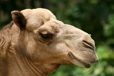 Free Camel Stock Photography - 818372
