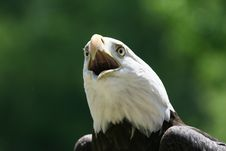 Angry Eagle Stock Photography