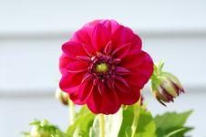 Free Dahlia Stock Photography - 818682