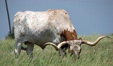 Free Grazing Bull Stock Image - 819481