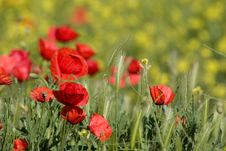 Free Poppy Royalty Free Stock Images - 819539