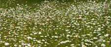 Field Of Shasta Daisies Royalty Free Stock Photography