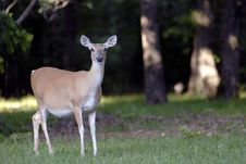 Free Deer On The Edge Of The Forest Royalty Free Stock Image - 819996