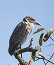 Free Green Heron Perched On A Branch Stock Images - 8104364
