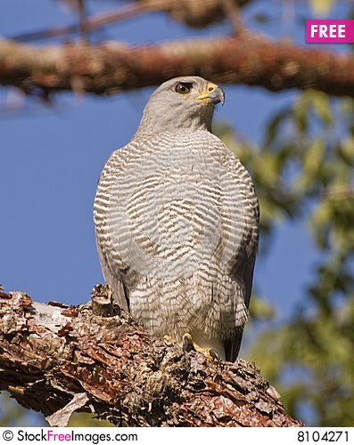 Free Hawk Perched On A Branch Stock Image - 8104271