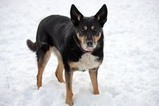 Free Dog In The Snow Royalty Free Stock Photography - 8100027